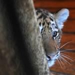 Remek fotót közölt a Sun magyar tigrisekről