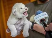 Nézegessen cuki fehér oroszlánkölyköt!