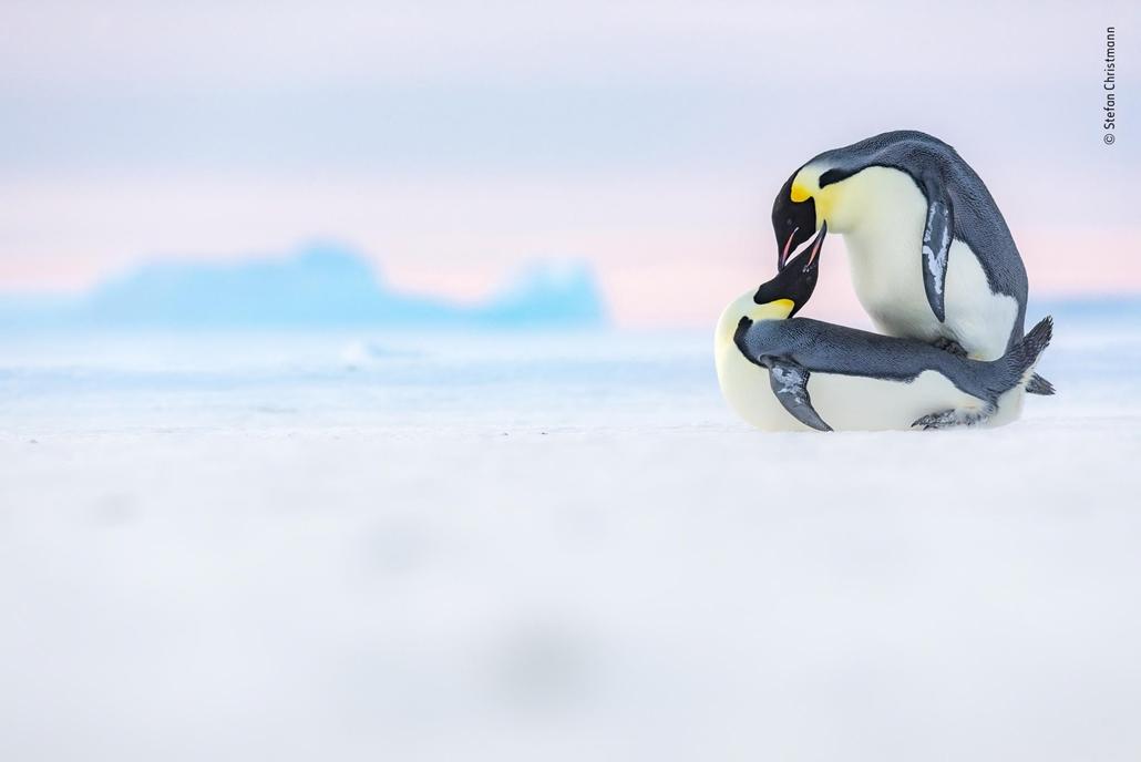 NAGYÍTÁS NE HASZNÁLD A párosodás művészete. Császár pingvinek az Antarktiszon