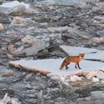 Elképesztő fotók jöttek a Tisza jegén rekedt állatokról