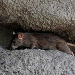 A főpolgármester-helyettesek is nekimentek Karácsonynak a patkánymentesítési közbeszerzés miatt