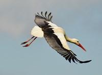 Nem a gólyákra vadászó közel-keletiek a madarak legnagyobb ellenségei