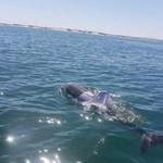Fotó: Pólót adtak a delfinre, most keresik, hogy megmenthessék