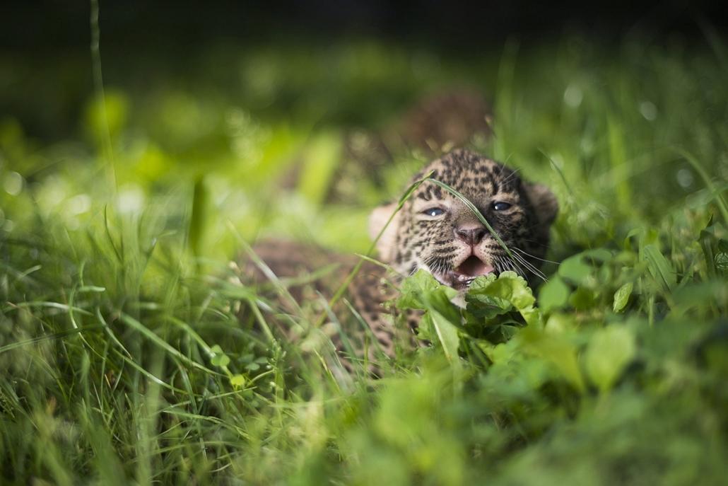 Afrikai leopárdtestvérpár született Nyíregyházán, 2013. július 25.