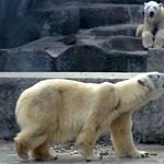 Váratlanul elpusztult a budapesti állatkert egyik jegesmedvéje