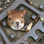Fotó: aknafedélbe szorult egy mókus, rendőrök szabadították ki