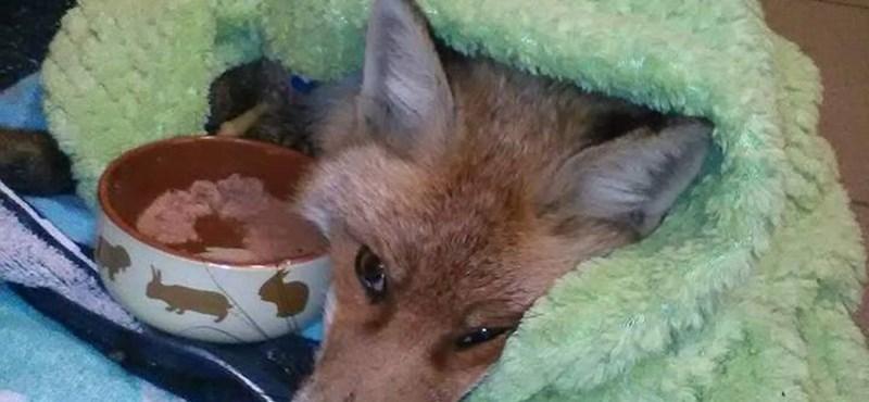 Sikerült megmenteni a stéghez fagyott róka lábát - videó