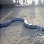 Ritka felvétel: palackból itatnak egy kiszáradt, de veszélyes kobrát