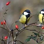 Éhen halhatnak a madárfiókák a klímaváltozás miatt