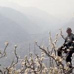 Ahol végleg eltűntek a méhek: kézi beporzás Kínában