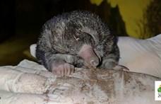 Világsiker: Bébi hangyászsünt nevelnek a Fővárosi Állatkertben