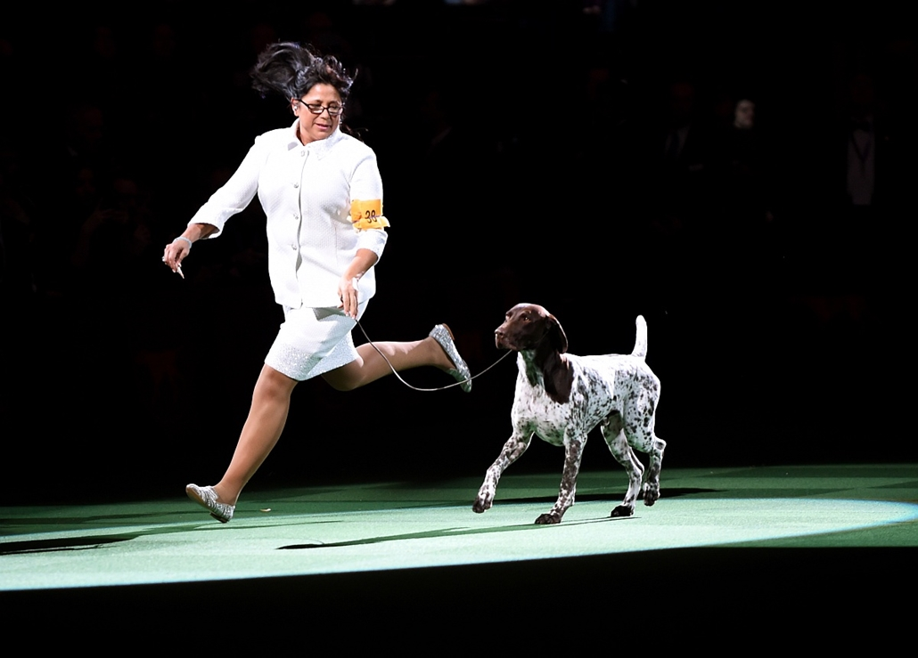 afp. hét képei - New York, Egyesült Államok, kutyakiállítás, Handler Valerie Nunes-Atkinson runs with German shorthaired pointer named C.J. after he won Best in Show of the 140th Annual Westminster Kennel Club Dog Show at Madison Square Garden in New York