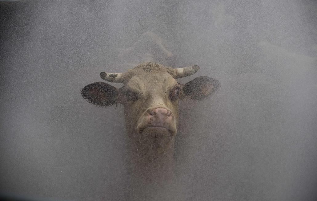 afp. Uruguay: tehenet mosnak a Frigorífico San Jacinto húsfeldolgozóüzm vágóhídján - hét képei nagyítás