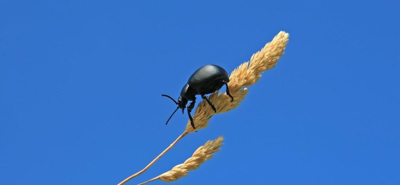 Ha csak 1 °C-ot emelkedik a hőmérséklet, a rovarok újabb 2,5%-át falják fel a világ termésének