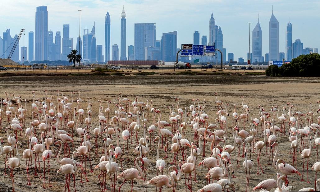 AFP - Nagyítás - Állati 2016 - 16.12.31. - Rózsaszín flamingók a Dubaj melletti Ras Al Khor madárrezervátum homokpadjain.