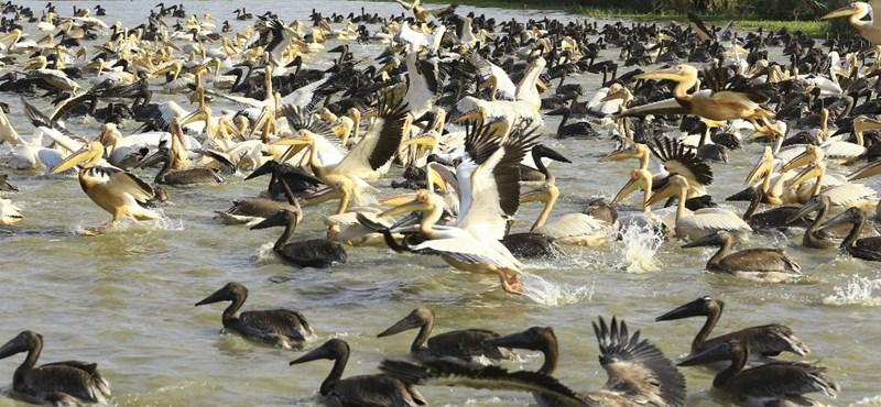 Több mint 700 pelikán pusztult el rejtélyes módon Szenegálban