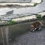 Jól megtermett patkányt fotóztak Zuglóban