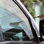 Így védekezhet az autókat, ablakokat megtámadó madarak ellen