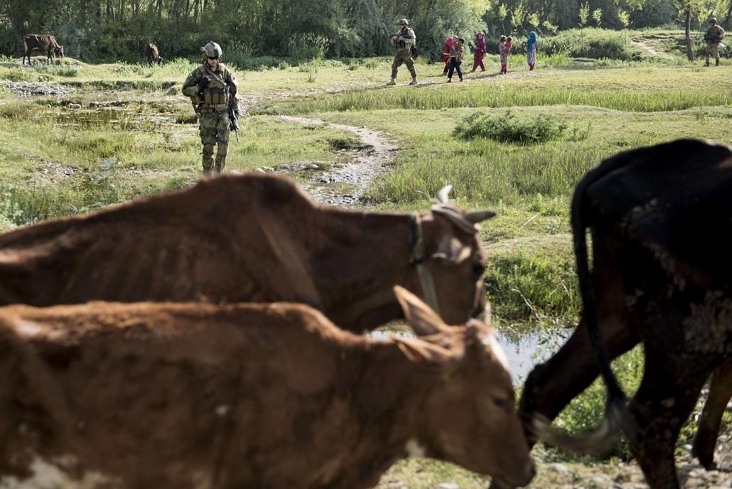 afp. nagyítás - hét képei - Afganisztán  2014.05.29. tehenek és katonák