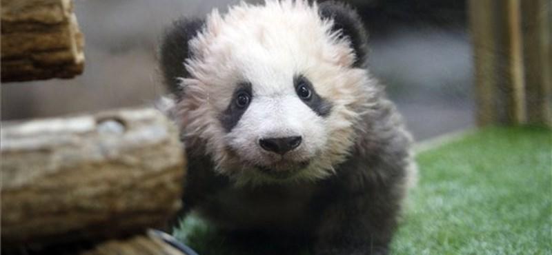 Nevet kapott híres keresztmamájától a francia pandabocs