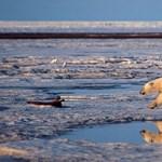 Még ebben a században kihalhatnak a jegesmedvék