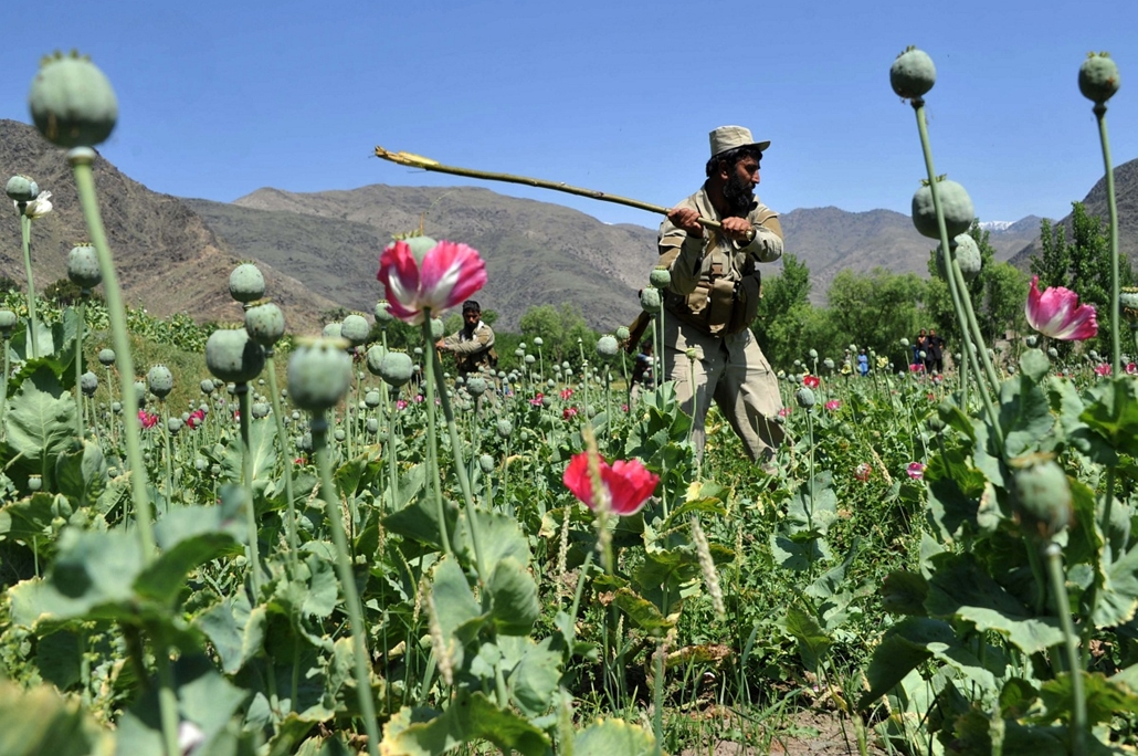 afp.14.04.29. - Kunar, Afganisztán: a helyi biztonsági erők egyik tagjának pusztítása egy illegális mákmezőn. - 7képei
