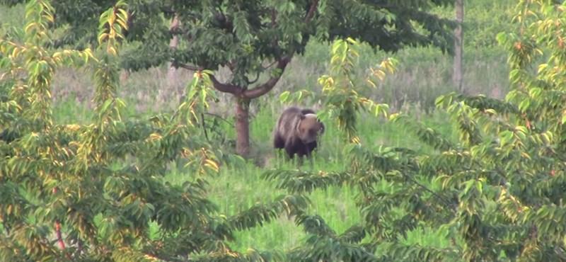 Becseresznyézett a medve, aztán komótosan elsétált