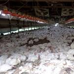400 ezer szárnyast pusztítottak el madárinfluenza miatt Bulgáriában