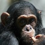 """A csimpánz is """"elkapja"""" az emberi ásítást"""
