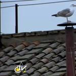 Fotó: sirály csatlakozott a pápaválasztáshoz