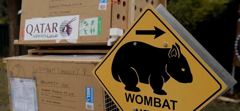Wombatok a Fővárosi Állatkertben