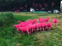 Rózsaszín fesztiválozó birkák borzolják a britek idegeit