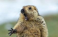 Halálra rémülő mormotára támad egy róka az év természetfotóján