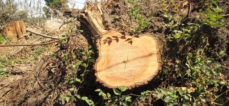 41 fát vágtak ki a budai Szent Margit Gimnázium kertjében