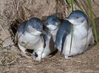 Kihalás fenyegeti egy ausztrál sziget pingvinpopulációját az ember miatt