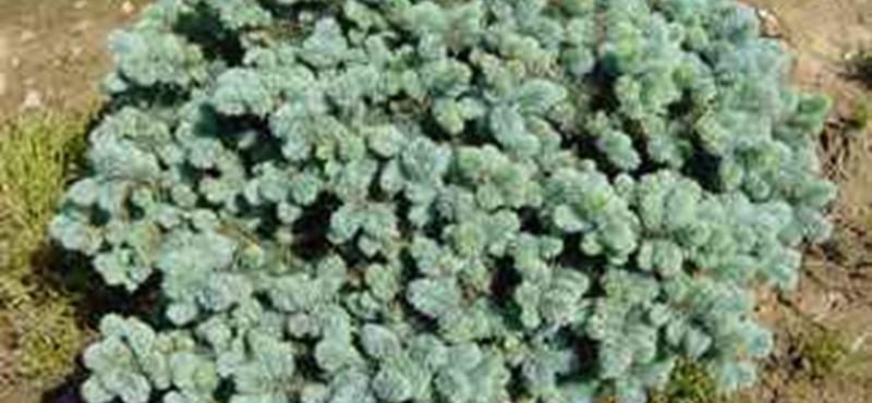Ezüstfenyő a kertben vagy az erkélyen - 3 szép, kisnövésű fajta