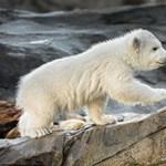 Egymást falják fel az éhező jegesmedvék
