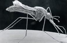 """""""Csodatevő"""" baktériummal fertőzték meg a szúnyogokat, bejött a kutatók taktikája"""