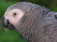 Papagáj vásároltat az Amazon okoshangszórójával