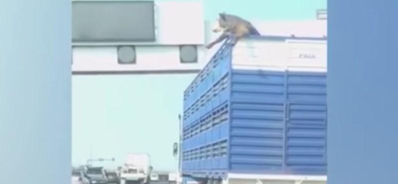 Uniós vita az állatjólétről: a kamionsofőr vezetési technikáján is múlik, milyen minőségű hús kerül az asztalra