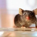 Vetkőzés helyett egerekkel szagoltatnak majd a reptéren?