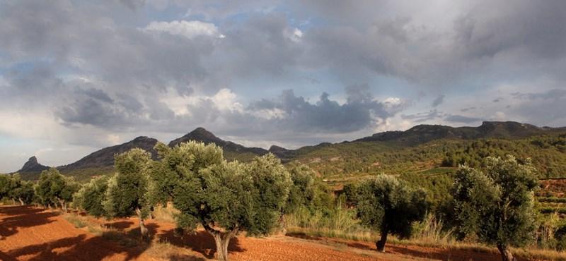 Tönkreteszi a klímaváltozás az európai olívaültetvényeket