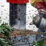 Nem a csíkozás riasztja el a méhek ellenségeit