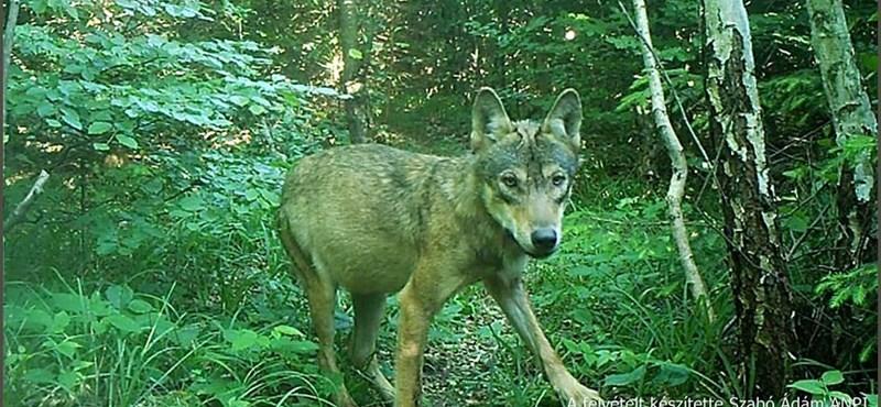 Nem kutyák, farkasok téphették szét a turistát Görögországban