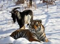 Elpusztult Tyimur, a tigrisek kecske barátja