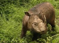 Napjai lehetnek már csak hátra Malajzia utolsó hím szumátrai orrszarvújának