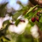 Kétezer forint is lehet a cseresznye kilója
