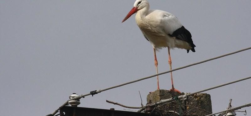 Kimentették az áramütést kapott gólya tojását a fészekből Újfehértón