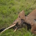 Mérgezett nyíllal végezték ki Afrika leghatalmasabb elefántját