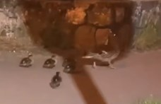 Egy teljes kacsacsaládot szabadítottak ki az útellenőrök